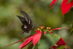 Common mormon butterfy sucking nectar. Common Mormon butterfly papilio polytes linnaeus, sucking nectar from fully bloomed red flower. Image shot in a forest Stock Image