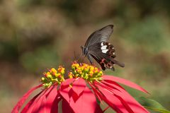 Common mormon butterfy sucking nectar. Common Mormon butterfly papilio polytes linnaeus, sucking nectar from fully bloomed red flower. Image shot in a forest Royalty Free Stock Photo