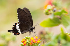 Common Mormon eating on Lantana flower. With green background Stock Photography