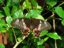 Common Mormon Femal Butterfly Stichus form Stock Photo