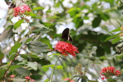 Common Mormon on a flower Royalty Free Stock Image