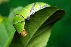 Common Mormon (Papilio Polytes) Stock Image