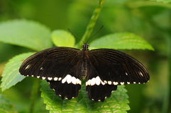 Common Mormon / Papilio Polytes Royalty Free Stock Images
