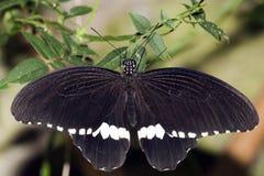 Common Mormon Papilio polytes Linnaeus, 1758 Stock Photos
