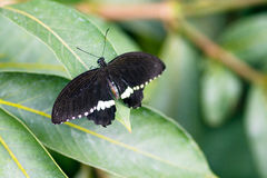 Common Mormon Papilio polytes male with open wings on leaf top v Stock Image