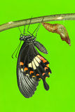 Common mormon (Papilio polytes romulus) butterfly Royalty Free Stock Photography