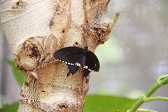 Common Mormon on a tree Stock Images