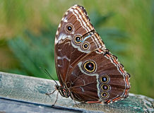 Common Morpho Royalty Free Stock Images