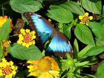 Common Morpho Butterfly Royalty Free Stock Photo
