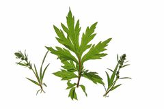 Common mugwort (Artemisia vulgaris). Isolated against a white background Royalty Free Stock Image