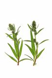 Common mugwort (Artemisia vulgaris) Royalty Free Stock Photo