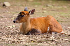 Common Muntjac Stock Photo