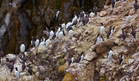 Common Murre Stock Images