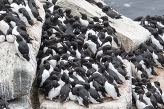 Common murre colony on a rocky shelf of the Pacific. Islands Royalty Free Stock Photo