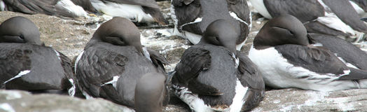 Common Murre, flock resting Stock Photos