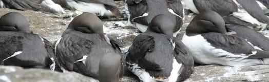 Common Murre, flock resting Stock Photos