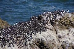Common Murre and pelagic cormorants. Common Murres ( Uria aalge ) and pelagic cormorant (Phalacrocorax pelagicus), nesting on sea stack,  Cobble Beach, Yaquina Stock Images