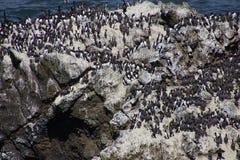 Common Murre and pelagic cormorants. Common Murres ( Uria aalge ) and pelagic cormorant (Phalacrocorax pelagicus), nesting on sea stack,  Cobble Beach, Yaquina Royalty Free Stock Photo