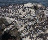 Common Murre and pelagic cormorants Stock Photos