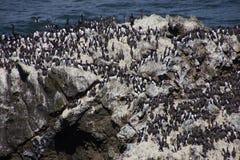 Common Murre and pelagic cormorants Stock Images