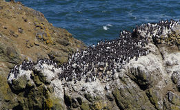 Common Murre and pelagic cormorants. Common Murres ( Uria aalge ) and pelagic cormorant (Phalacrocorax pelagicus), nesting on sea stack,  Cobble Beach, Yaquina Stock Photos