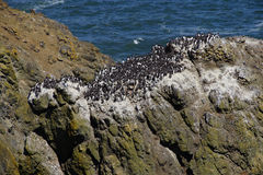 Common Murre and pelagic cormorants. Common Murres ( Uria aalge ) and pelagic cormorant (Phalacrocorax pelagicus), nesting on sea stack,  Cobble Beach, Yaquina Royalty Free Stock Image