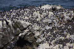 Common Murre and pelagic cormorants. Common Murres ( Uria aalge ) and pelagic cormorant (Phalacrocorax pelagicus), nesting on sea stack,  Cobble Beach, Yaquina Stock Photography