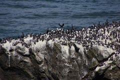 Common Murre and pelagic cormorants Royalty Free Stock Photography