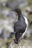 Common murre is sitting on a rock with his back summer Stock Photo