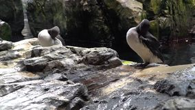 Common Murre. The common murre spends most of the year at sea. In the summer, the breeding season, thousands of these