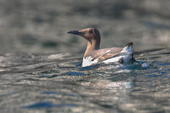 Common murre swimming royalty free stock image