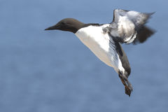 Common murre at the time of landing on the rocks in colony Royalty Free Stock Photography