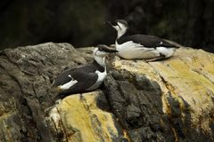 Common murre Uria aalge