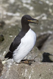 Common murre which carries a stone to nest Stock Photography