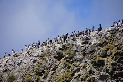 Common Murres and pelagic cormorant Royalty Free Stock Images