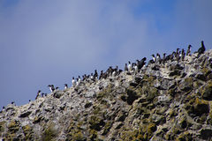 Common Murres and pelagic cormorant. Common Murres ( Uria aalge ) and pelagic cormorant (Phalacrocorax pelagicus), nesting on sea stack,  Cobble Beach, Yaquina Stock Photo