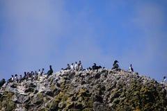 Common Murres and pelagic cormorant. Common Murres ( Uria aalge ) and pelagic cormorant (Phalacrocorax pelagicus), nesting on sea stack,  Cobble Beach, Yaquina Royalty Free Stock Photos