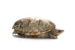 Common Musk Turtle Royalty Free Stock Photos