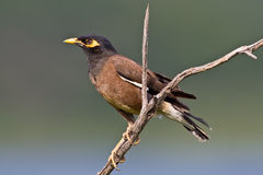 Common Myna. Perched in Pilanesberg national park Royalty Free Stock Photo