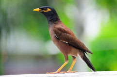 Common Myna. The Common Myna is readily identified by the brown body, black hooded head and the bare yellow patch behind the eye. The bill and legs are bright Stock Photos