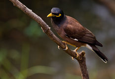 Common Myna. Royalty Free Stock Photography