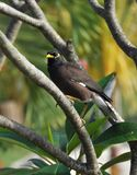 Common myna. Sitting on a branch Stock Photo