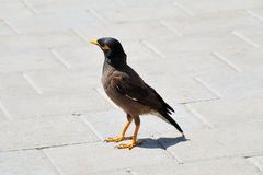 Common Myna Stock Images