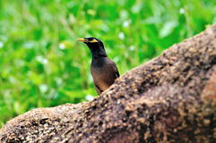 Common Myna (Acridotheres tristis) Royalty Free Stock Images