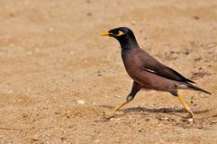 Common Myna (Acridotheres tristis) Stock Image