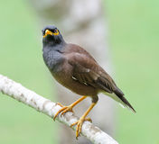 Common Myna (Acridotheres tristis) Royalty Free Stock Image