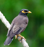 Common Myna (Acridotheres tristis) Royalty Free Stock Photos