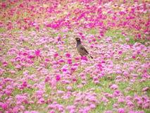 Common myna (Acridotheres tristis) birds on Common Purslane flowers Stock Images