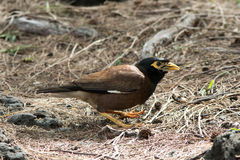 Common Myna 2. Common Myna (Acridotheres tristis) feeding on the ground in Mauritius Royalty Free Stock Photography