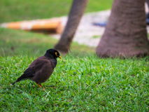 The common myna Acridotheres tristis on green grass feild Royalty Free Stock Images